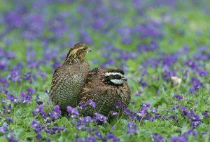 Virginiawachtel Wachtelarten Baumwachtel Wachtel quail
