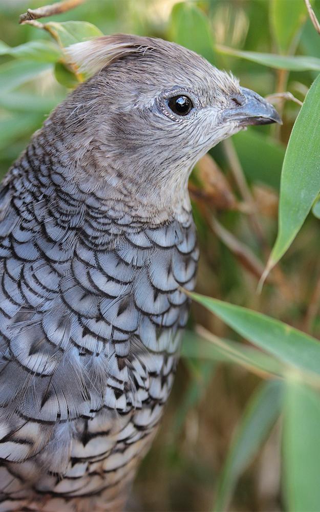 Blauschuppenwachtel wilde Wachteln Zierwachteln Wachtel-Arten