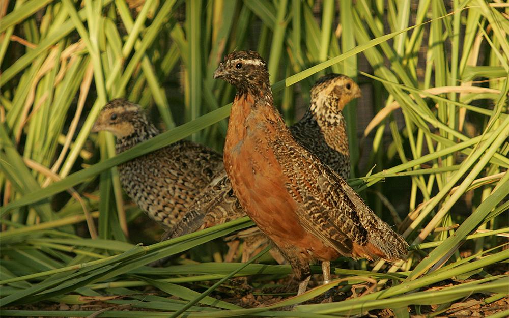 Harlekinwachtel wilde Wachteln Zierwachteln Wachtel-Arten