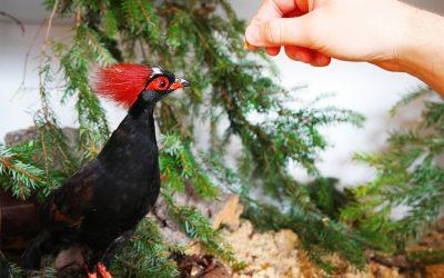 Straußwachteln Männchen Haltung Zucht Fütterung