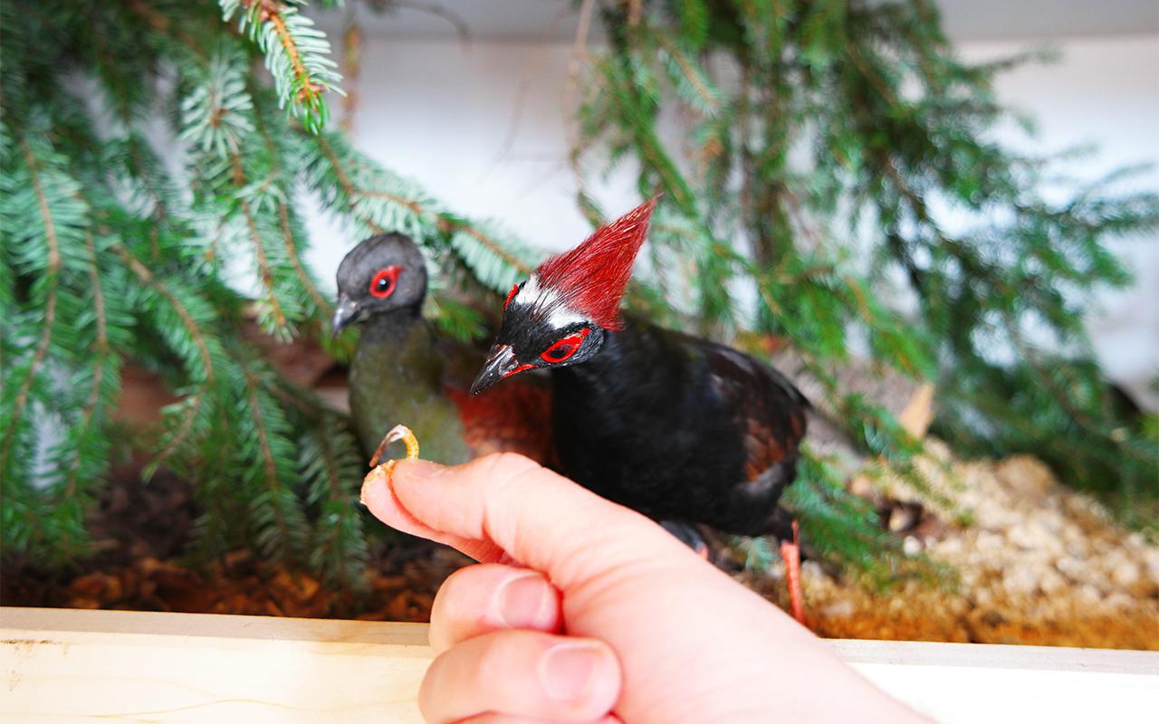 Straußwachteln Männchen Weibchen Pärchen Haltung Zucht Fütterung