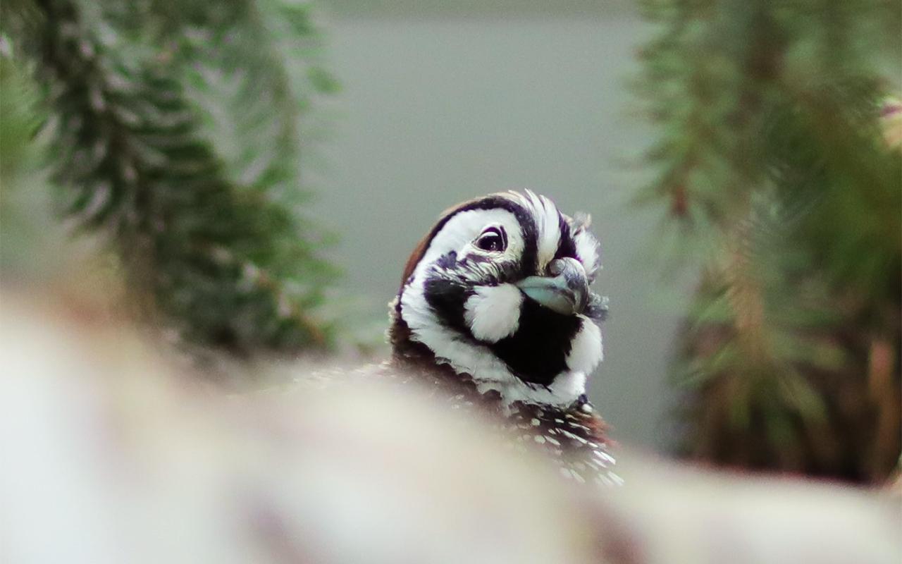 Montezumawachtel Mearn quail