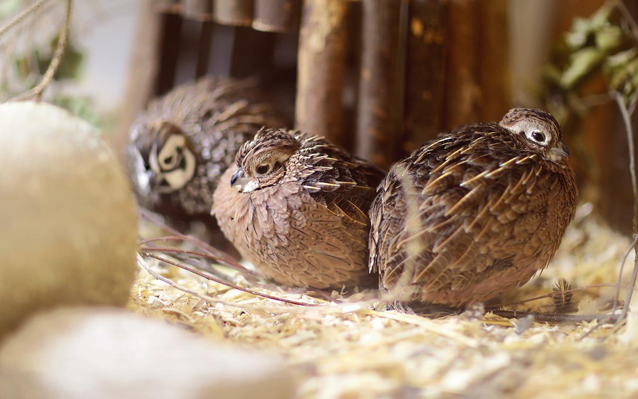 Montezumawachtel mearn quails